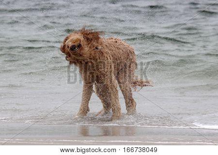 A golden doodle dog shaken off wear at the beach.