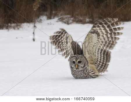 Close up image of a wild, Barred Owl, catching prey in the snow.  Winter in northern Wisconsin.