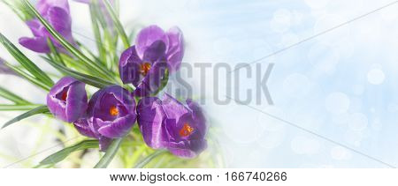 Spring crocus flowers in the snow with copy-space
