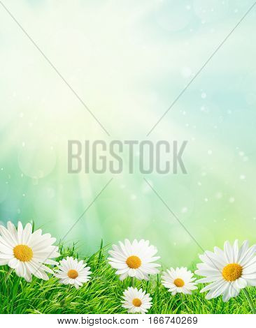 Spring meadow with daisies and bokeh background