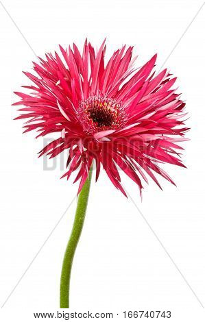 Single red gerbera daisy (Asteraceae) islolated on white