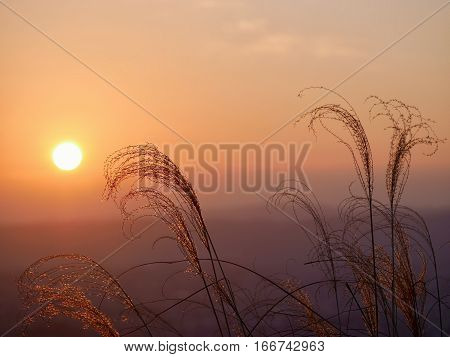 Silhouettes of grass and glowing sun light. Grass in warm golden morning light . Sharp image correct composition deep warm colors. Nara. Japan.