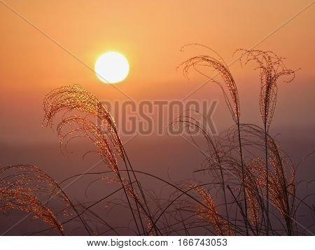 Glowing sunset. Grass in golden morning light . Sharp image correct composition deep warm colors. Nara. Japan.