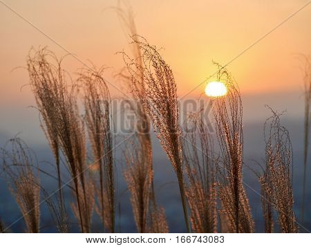 Glowing sunrise over city and grass silhouettes. Grass in low golden morning light . Sharp image correct composition deep warm colors. Nara. Japan.
