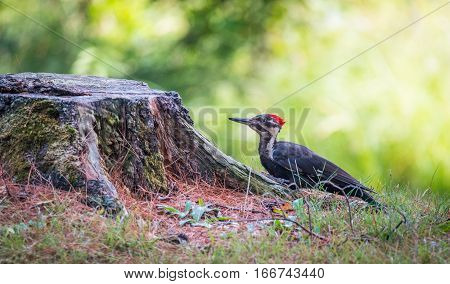 Young juvenile female Pileated woodpecker on a tree stump foraging for grubs and food in a woodland lot.
