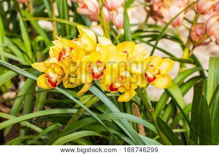Yellow cymbidium flower , beauty in nature
