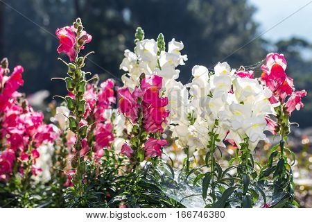 pink and white salvia flowers , nature