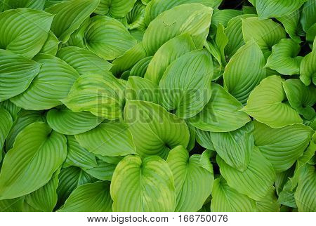 Decorative and deciduous plant textural forms Hosta Sum and Substance