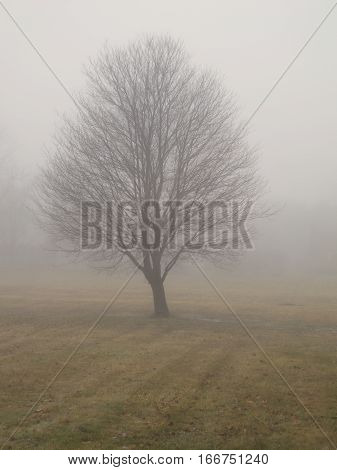 Bereft of leaves, the solitary tree stands in the midst of a large lawn engulfed in winter fog. Southeastern Michigan.