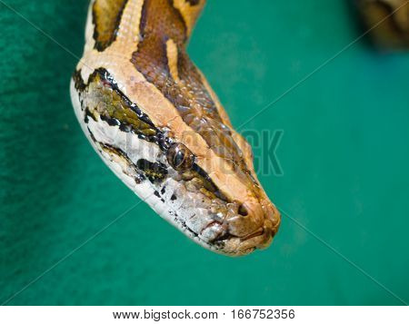 Close up head of Burmese python at Songkhla Thailand