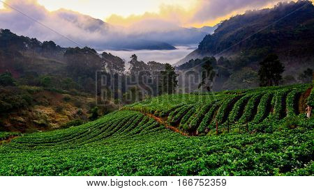 Misty morning sunrise in strawberry garden at Doi Ang khang mountain of Thailand- Burma Border Chiangmai Thailand