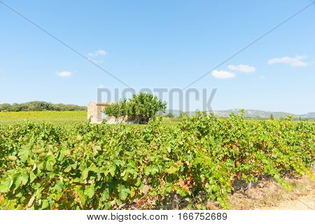 French vineyards in southern France with two trees beside old stone home with blue shutters near Corneilhan Languedoc-Roussllon region France.