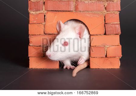 portrait of domestic rat in a brick house