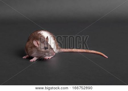 young domestic rat on a black background