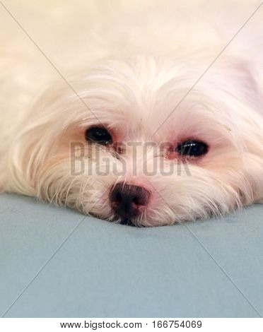 sleepy and lovely Maltese dog having a rest