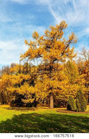 golden larch in a sunny autumn park
