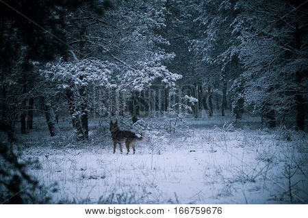 shepherd dog in winter forest, mongrel sheepdog