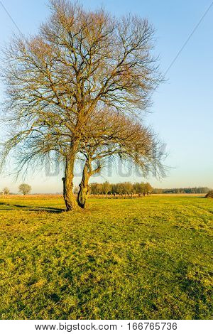 Twinning leafless trees with whimsical branches in warm afternoon sunlight on a sunny day in the Dutch winter season.