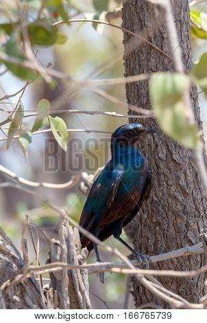 Bird Cape Starling, Okavango, Botswana Africa