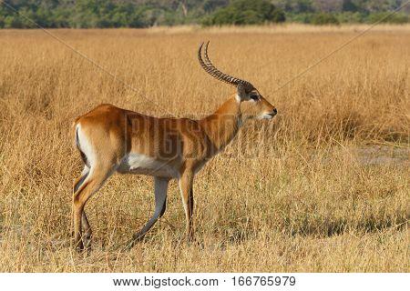 Southern Lechwe In Okavango, Botswana, Africa