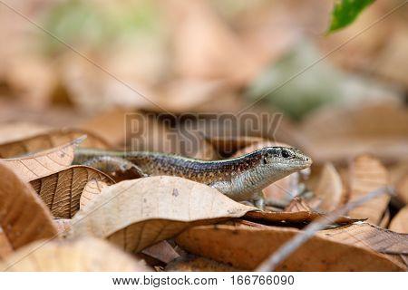 Madagascar Girdled Lizard (zonosaurus Madagascariensis)