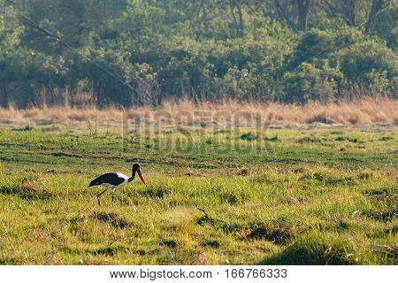Bird Saddle-billed Stork, Okavango Delta, Botswana Africa