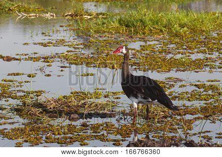 Bird Spur-winged Goose, Okavango, Botswana, Africa