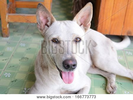cream mongrel dog short hair lay on the floor