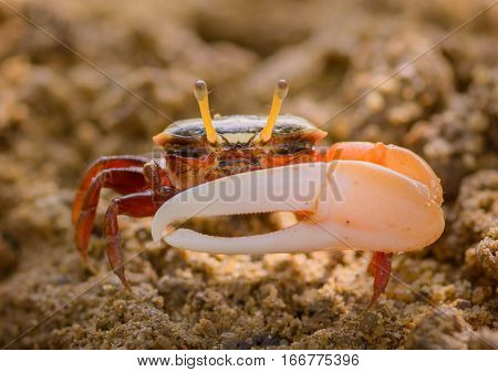 Uca vocans Fiddler Crab walking in mangrove forest at Phuket beach Thailand