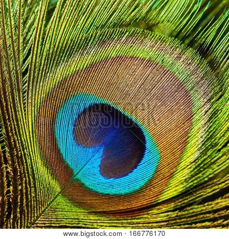 Peacock feather close up. Abstract background. Plumage
