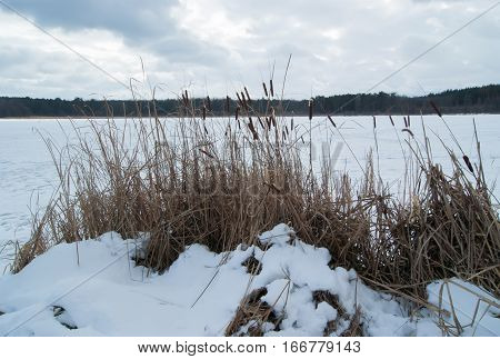SONY DSC Dry grass cattail on the river in the snow,winter landscape