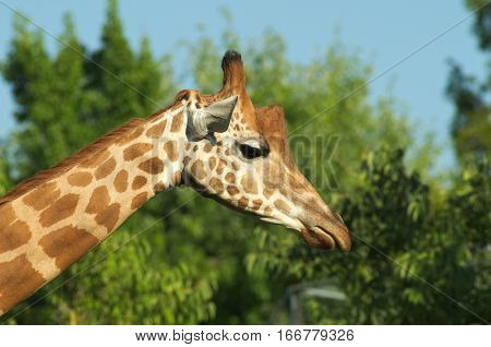 Close-up of the head of a giraffe (Giraffe camelopardialis) with green leaves on the background