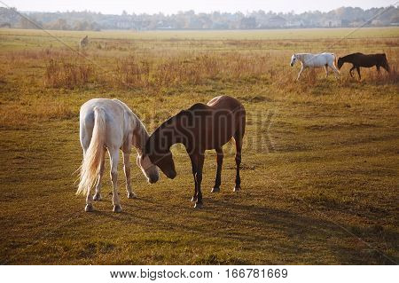 Herd Of Horses On The Nature In The Setting Sun. Animals  Field Background
