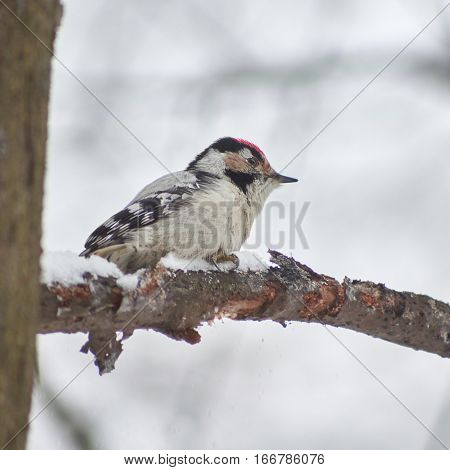 Lesser spotted woodpecker on a tree branch.