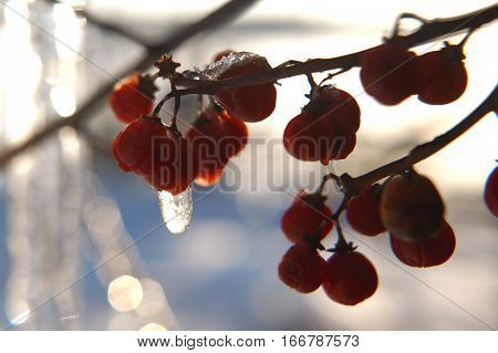 Red Berries In The Cold In The Ice Crust
