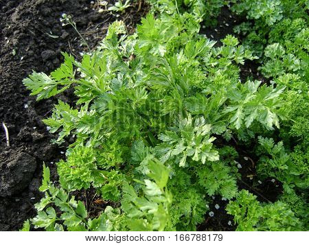 green spring parsley growing in the ground