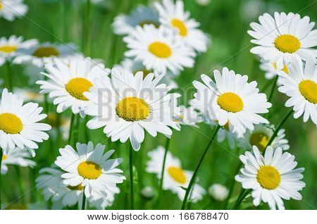 Summer landscape with beautiful blooming daisies closeup