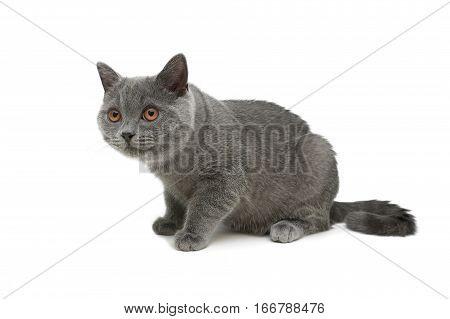gray kitten isolated on white background. horizontal photo.