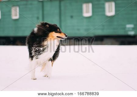 Funny Young Shetland Sheepdog, Sheltie, Collie Dog With Billowing In Wind Long Hair Outdoor In Snow, Winter Season. Playful Pet Outdoors.