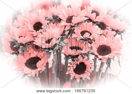 A beautiful bouquet of pink sunflowers. Isolated vignette.