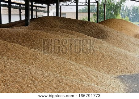 Pile of organic ripe wheat seeds at grain silo