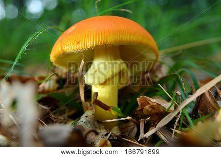 edible and delicious amanita caesarea mushroom in the forest