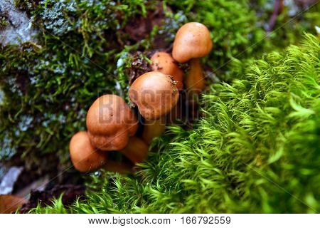 gymnopus (collybia) fusipes mushroom cluster in the woods