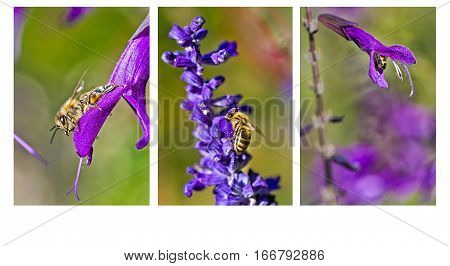 Collage of three vertical images of a Honeybee collecting nectar on a purple flower in the Botanical Gardens