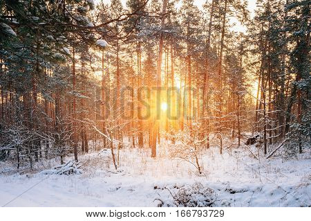 Sunset Or Sunrise In Snowy Forest Landscape. Sun Sunshine With Natural Sunlight And Sun Rays Through Woods Trees In Winter Forest. Beautiful Scenic View. Beautiful Sunset Sunrise In Sunny Winter Snowy Forest.