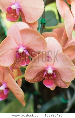 Purple orchids Violet orchids. Orchid is queen of flowers. Orchid in tropical garden. Orchid in nature blur background