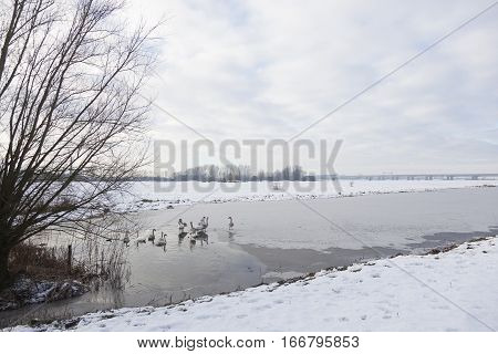 swan family on ice in floodplanes of river rhine near doorwerth in the netherlands with motorway a50 in the background