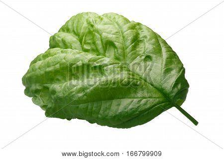 Lettuce Leaf Bolloso Napoletano Basil, Path