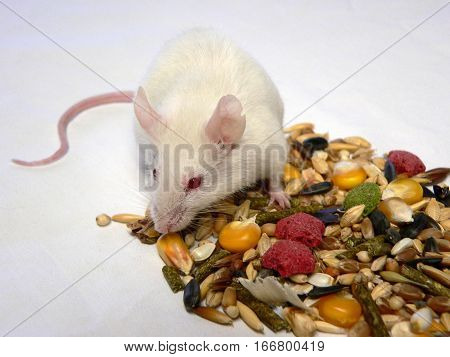 white laboratory mouse and rodent feeding on a white background