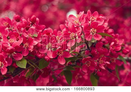 Spring blooming tree. Beautiful pink flowers close up. Nature background